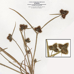 Inflorescences: Fuirena pumila. ~ By CONN Herbarium. ~ Copyright © 2018 CONN Herbarium. ~ Requests for image use not currently accepted by copyright holder ~ U. of Connecticut Herbarium - bgbaseserver.eeb.uconn.edu/