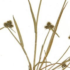 Leaves and auricles: Fuirena pumila. ~ By CONN Herbarium. ~ Copyright © 2017 CONN Herbarium. ~ Requests for image use not currently accepted by copyright holder ~ U. of Connecticut Herbarium - bgbaseserver.eeb.uconn.edu/