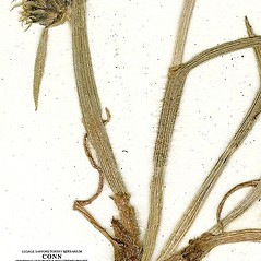 Stems and sheaths: Fuirena pumila. ~ By CONN Herbarium. ~ Copyright © 2018 CONN Herbarium. ~ Requests for image use not currently accepted by copyright holder ~ U. of Connecticut Herbarium - bgbaseserver.eeb.uconn.edu/