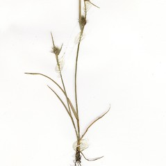 Plant form: Fuirena squarrosa. ~ By CONN Herbarium. ~ Copyright © 2020 CONN Herbarium. ~ Requests for image use not currently accepted by copyright holder ~ U. of Connecticut Herbarium - bgbaseserver.eeb.uconn.edu/
