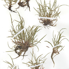 Plant form: Kyllinga gracillima. ~ By CONN Herbarium. ~ Copyright © 2019 CONN Herbarium. ~ Requests for image use not currently accepted by copyright holder ~ U. of Connecticut Herbarium - bgbaseserver.eeb.uconn.edu/