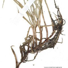 Stems and sheaths: Kyllinga gracillima. ~ By CONN Herbarium. ~ Copyright © 2018 CONN Herbarium. ~ Requests for image use not currently accepted by copyright holder ~ U. of Connecticut Herbarium - bgbaseserver.eeb.uconn.edu/