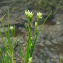 Inflorescences: Rhynchospora alba. ~ By Glen Mittelhauser. ~ Copyright © 2018 Glen Mittelhauser. ~ www.mainenaturalhistory.org