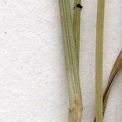 Stems and sheaths: Rhynchospora alba. ~ By CONN Herbarium. ~ Copyright © 2018 CONN Herbarium. ~ Requests for image use not currently accepted by copyright holder ~ U. of Connecticut Herbarium - bgbaseserver.eeb.uconn.edu/