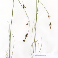 Plant form: Rhynchospora torreyana. ~ By CONN Herbarium. ~ Copyright © 2017 CONN Herbarium. ~ Requests for image use not currently accepted by copyright holder ~ U. of Connecticut Herbarium - bgbaseserver.eeb.uconn.edu/
