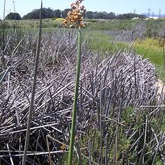 Plant form: Schoenoplectus acutus. ~ By R. C. Brody. ~ Copyright © 2020 R. C. Brody. ~ Rbrody[at]icfi.com ~ CalPhotos - calphotos.berkeley.edu/flora/