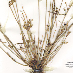 Stems and sheaths: Schoenoplectus hallii. ~ By CONN Herbarium. ~ Copyright © 2018 CONN Herbarium. ~ Requests for image use not currently accepted by copyright holder ~ U. of Connecticut Herbarium - bgbaseserver.eeb.uconn.edu/
