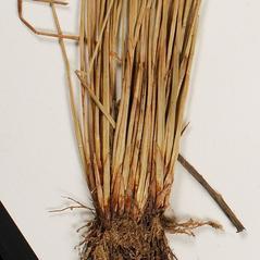 Leaves and auricles: Schoenoplectus purshianus. ~ By Troy University Herbarium. ~ Copyright © 2020. ~ Brian Keener, bkeener[at]uwa.edu ~ Troy U. Herbarium
