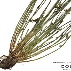 Leaves and auricles: Schoenoplectus smithii. ~ By CONN Herbarium. ~ Copyright © 2019 CONN Herbarium. ~ Requests for image use not currently accepted by copyright holder ~ U. of Connecticut Herbarium - bgbaseserver.eeb.uconn.edu/