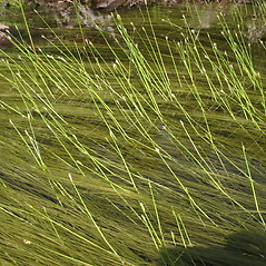 Plant form: Schoenoplectus subterminalis. ~ By Marilee Lovit. ~ Copyright © 2019 Marilee Lovit. ~ lovitm[at]gmail.com