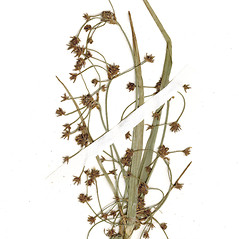 Flowers and fruits: Scirpus ancistrochaetus. ~ By CONN Herbarium. ~ Copyright © 2018 CONN Herbarium. ~ Requests for image use not currently accepted by copyright holder ~ U. of Connecticut Herbarium - bgbaseserver.eeb.uconn.edu/
