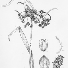 Plant form: Scirpus ancistrochaetus. ~ By Tess Feltes. ~  Public Domain. ~  ~ U. of New Hampshire