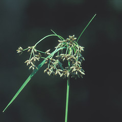 Inflorescences: Scirpus ancistrochaetus. ~ By William Larkin. ~ Copyright © 2017 New England Wild Flower Society. ~ Image Request, images[at]newenglandwild.org