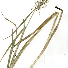 Leaves and auricles: Scirpus ancistrochaetus. ~ By CONN Herbarium. ~ Copyright © 2018 CONN Herbarium. ~ Requests for image use not currently accepted by copyright holder ~ U. of Connecticut Herbarium - bgbaseserver.eeb.uconn.edu/