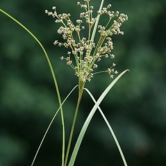 Inflorescences: Scirpus cyperinus. ~ By Arieh Tal. ~ Copyright © 2017 Arieh Tal. ~ http://botphoto.com/ ~ Arieh Tal - botphoto.com