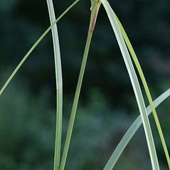 Leaves and auricles: Scirpus cyperinus. ~ By Arieh Tal. ~ Copyright © 2017 Arieh Tal. ~ http://botphoto.com/ ~ Arieh Tal - botphoto.com