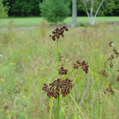 Inflorescences: Scirpus georgianus. ~ By Arthur Haines. ~ Copyright © 2020. ~ arthurhaines[at]wildblue.net