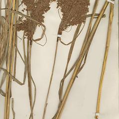 Plant form: Scirpus pedicellatus. ~ By Missouri Botanical Garden. ~ Copyright © 2019 CC-BY-NC-SA. ~  ~ Tropicos, Missouri Botanical Garden - www.tropicos.org