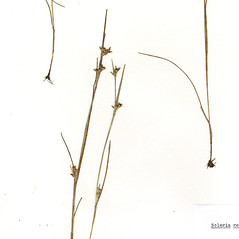 Plant form: Scleria reticularis. ~ By CONN Herbarium. ~ Copyright © 2019 CONN Herbarium. ~ Requests for image use not currently accepted by copyright holder ~ U. of Connecticut Herbarium - bgbaseserver.eeb.uconn.edu/