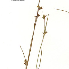Inflorescences: Scleria reticularis. ~ By CONN Herbarium. ~ Copyright © 2020 CONN Herbarium. ~ Requests for image use not currently accepted by copyright holder ~ U. of Connecticut Herbarium - bgbaseserver.eeb.uconn.edu/