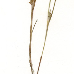 Stems and sheaths: Scleria reticularis. ~ By CONN Herbarium. ~ Copyright © 2020 CONN Herbarium. ~ Requests for image use not currently accepted by copyright holder ~ U. of Connecticut Herbarium - bgbaseserver.eeb.uconn.edu/