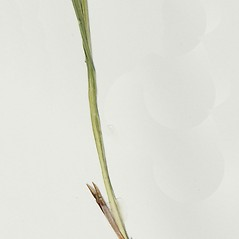 Stems and sheaths: Scleria triglomerata. ~ By Derick B. Poindexter. ~ Copyright © 2018 Derick B. Poindexter. ~ dpoindex[at]live.unc.edu ~ Vascular Flora of Alleghany County, NC - vascularflora.appstate.edu/
