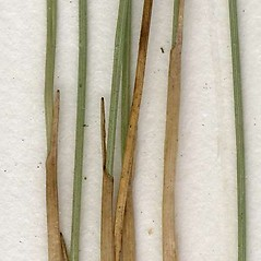 Stems and sheaths: Trichophorum cespitosum. ~ By CONN Herbarium. ~ Copyright © 2017 CONN Herbarium. ~ Requests for image use not currently accepted by copyright holder ~ U. of Connecticut Herbarium - bgbaseserver.eeb.uconn.edu/