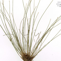 Leaves and auricles: Trichophorum clintonii. ~ By CONN Herbarium. ~ Copyright © 2019 CONN Herbarium. ~ Requests for image use not currently accepted by copyright holder ~ U. of Connecticut Herbarium - bgbaseserver.eeb.uconn.edu/