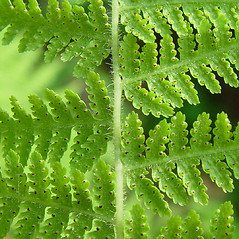Detail of leaf and/or divisions: Dennstaedtia punctilobula. ~ By Arthur Haines. ~ Copyright © 2019. ~ arthurhaines[at]wildblue.net
