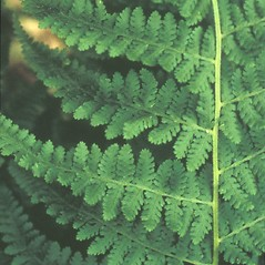 Detail of leaf and/or divisions: Dennstaedtia punctilobula. ~ By David Heppert. ~ Copyright © 2018 New England Wild Flower Society. ~ Image Request, images[at]newenglandwild.org