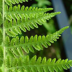 Sori: Dennstaedtia punctilobula. ~ By Arthur Haines. ~ Copyright © 2020. ~ arthurhaines[at]wildblue.net