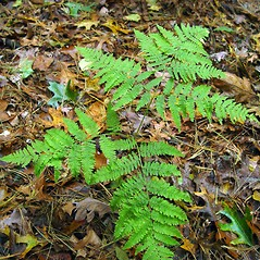 Plant form: Pteridium aquilinum. ~ By Arthur Haines. ~ Copyright © 2020. ~ arthurhaines[at]wildblue.net