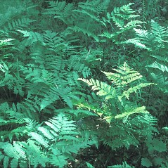 Plant form: Pteridium aquilinum. ~ By John Lynch. ~ Copyright © 2018 New England Wild Flower Society. ~ Image Request, images[at]newenglandwild.org