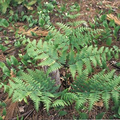 Plant form: Pteridium aquilinum. ~ By Pennie Logemann. ~ Copyright © 2018 New England Wild Flower Society. ~ Image Request, images[at]newenglandwild.org