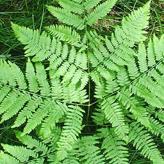 Leaf: Pteridium aquilinum. ~ By Donna Kausen. ~ Copyright © 2020 Donna Kausen. ~ 33 Bears Den, Addison, ME 04606
