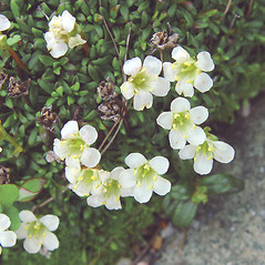 Flowers: Diapensia lapponica. ~ By Arthur Haines. ~ Copyright © 2018. ~ arthurhaines[at]wildblue.net
