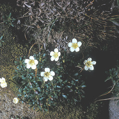 Flowers: Diapensia lapponica. ~ By Frank Bramley. ~ Copyright © 2018 New England Wild Flower Society. ~ Image Request, images[at]newenglandwild.org