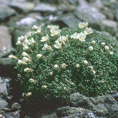 Plant form: Diapensia lapponica. ~ By Frank Bramley. ~ Copyright © 2018 New England Wild Flower Society. ~ Image Request, images[at]newenglandwild.org