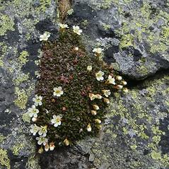Plant form: Diapensia lapponica. ~ By Mareike Conrad. ~ Copyright © 2018 Mareike Conrad. ~ mareike.conrad[at]googlemail.com