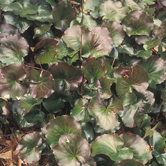 Leaves: Galax urceolata. ~ By Cheryl Lowe. ~ Copyright © 2020 New England Wild Flower Society. ~ Image Request, images[at]newenglandwild.org