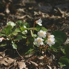Plant form: Shortia galacifolia. ~ By Mareike Conrad. ~ Copyright © 2018 Mareike Conrad. ~ mareike.conrad[at]googlemail.com