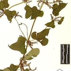 Inflorescences: Dioscorea polystachya. ~ By William and Linda Steere and the C.V. Starr Virtual Herbarium. ~ Copyright © 2017 William and Linda Steere and the C.V. Starr Virtual Herbarium. ~ Barbara Thiers, Director; bthiers[at]nybg.org ~ C.V. Starr Herbarium - NY Botanical Gardens