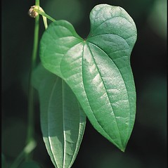 Leaves: Dioscorea polystachya. ~ By James Miller. ~ Copyright © 2018 CC BY-NC 3.0. ~  ~ Bugwood - www.bugwood.org/