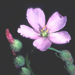 Flowers: Drosera filiformis. ~ By Dorothy Long. ~ Copyright © 2019 New England Wild Flower Society. ~ Image Request, images[at]newenglandwild.org
