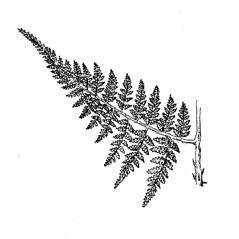 Leaf: Dryopteris campyloptera. ~ By Elizabeth Farnsworth. ~ Copyright © 2019 New England Wild Flower Society. ~ Image Request, images[at]newenglandwild.org