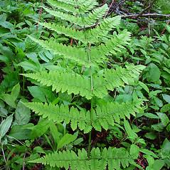 Leaf: Dryopteris campyloptera. ~ By Glen Mittelhauser. ~ Copyright © 2019 Glen Mittelhauser. ~ www.mainenaturalhistory.org