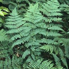 Plant form: Dryopteris carthusiana. ~ By John Lynch. ~ Copyright © 2019 New England Wild Flower Society. ~ Image Request, images[at]newenglandwild.org