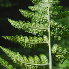 Sori: Dryopteris cristata. ~ By Donald Cameron. ~ Copyright © 2019 Donald Cameron. ~ No permission needed for non-commercial uses, with proper credit