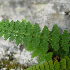 Leaf: Dryopteris fragrans. ~ By Arthur Haines. ~ Copyright © 2018. ~ arthurhaines[at]wildblue.net