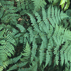 Plant form: Dryopteris intermedia. ~ By John Lynch. ~ Copyright © 2018 New England Wild Flower Society. ~ Image Request, images[at]newenglandwild.org